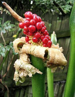 Необычные плоды алоказии крупнокорневой