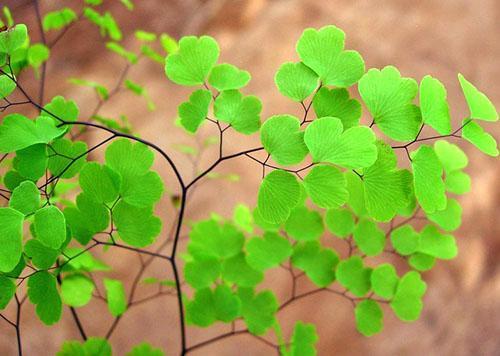 Нежная листва адиантума