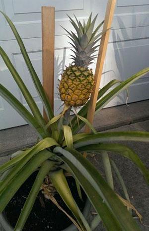 Обожают ананас паутинные клещи и мучнистые червецы