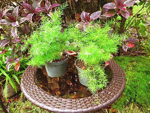 Обработав зараженное растение фитовермом, можно спасти аспарагус