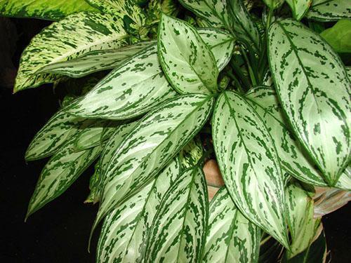 Цветок с плотными зелеными листьями фото и