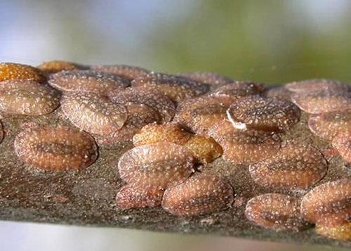 Особый ущерб здоровью растения наносит щитовка