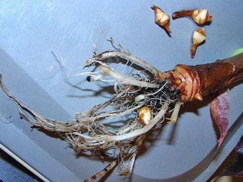 Отбор клубней для размножения