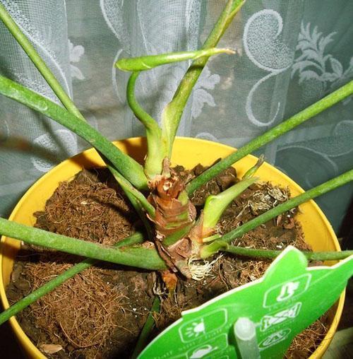 Погибающее растение можно спасти частью стебля с воздушными корнями
