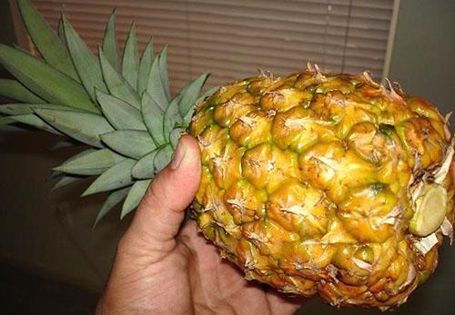 Покупайте ананас с упругой коркой и зеленым хохолком