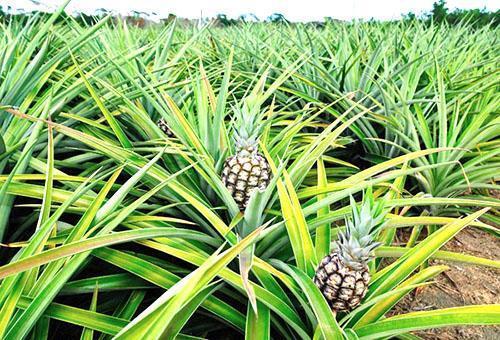 Поле ананасов в индийской колоне