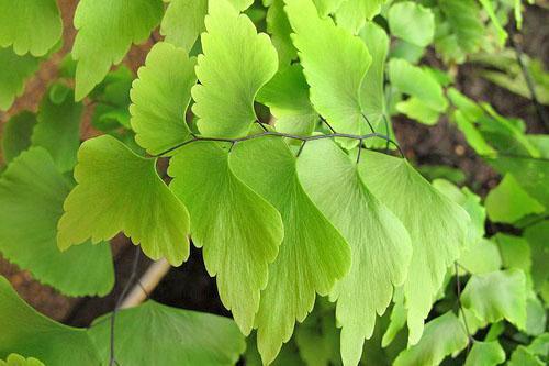 Пониклые листья свидетельствуют о проблемах растения