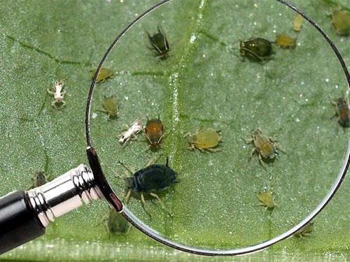 Поражение листовых пластин насекомыми