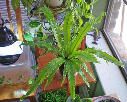 После зачистки больных листьев и восстановления ухода растение выздоравливает