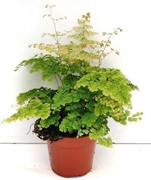 Потемневшие листья, бурые черточки говорят о высокой кислотности почвы