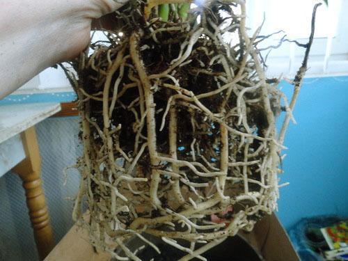 При пересадке работают аккуратно, чтобы не повредить корни