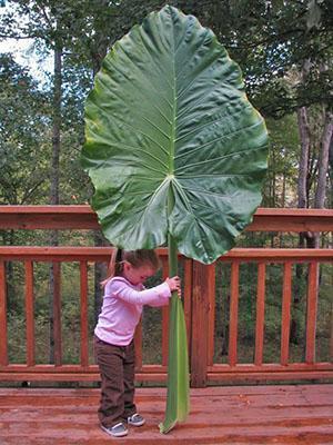 При правильном уходе может вырасти вот такой лист