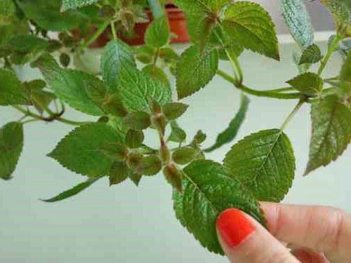 При правильном уходе растение развивается быстро
