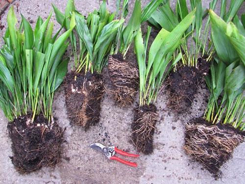 При размножении важно правильно разделить корневище