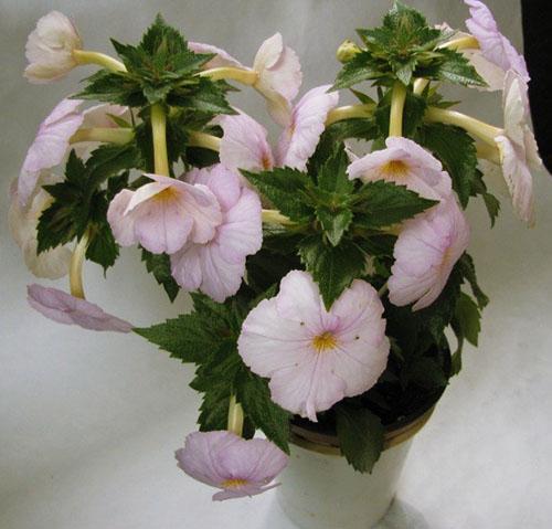 При соблюдении правил ухода растение радует обильным цветением