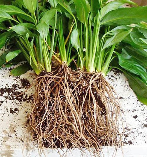 Рассаживание взрослого растения аспидистры
