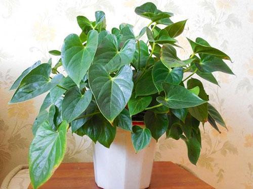 Растение необходимо рассадить и омолодить