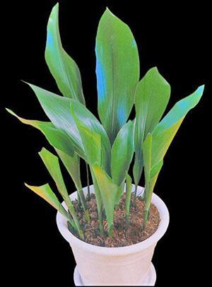 Растение неприхотливо в уходе