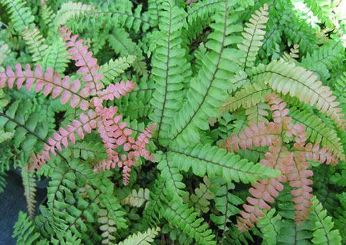 Растение поражено вирусным заболеванием