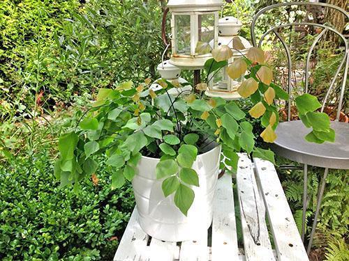 Растение потеряло декоративность из-за нарушения правил полива