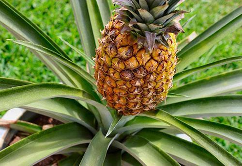 Растение, принадлежащие роду Ananas comosus var. comosus
