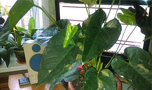 Растению необходимо удобрение, свет и полив теплой водой