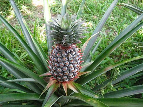 Растет ананас