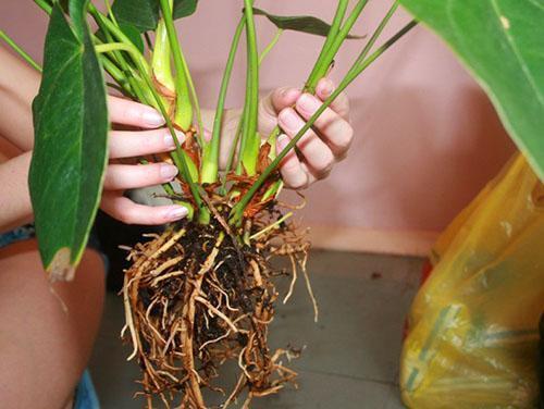 Разделив растение по розеткам с корнями, можно омолодить и восстановить антуриум