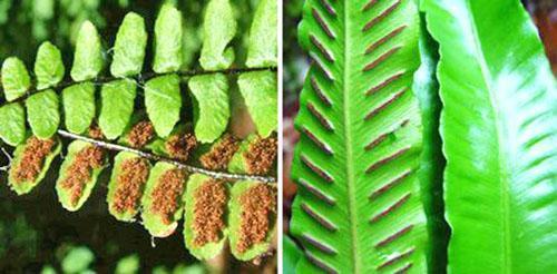 Размножение спорами разных видов асплениума