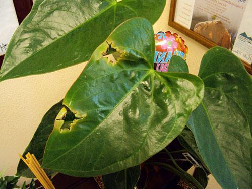 Почему у антуриума на листьях коричневые пятна