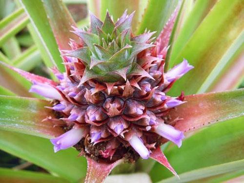 Сформировалось соцветие ананаса