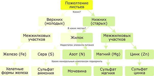 Схема исследования листвы абутилона