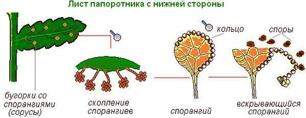 Схема размножения спорами