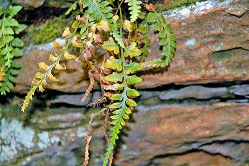 У асплениума желтеют и отмирают листья