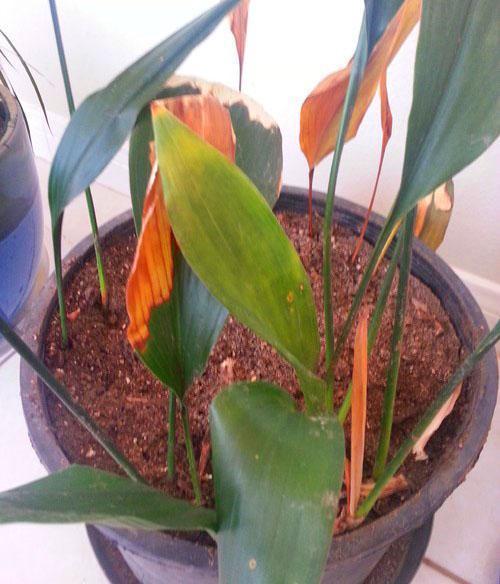 У больного растения следует удалить все пораженные болезнью листья