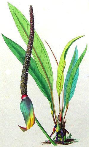 У декоративно-лиственных сортов соцветие выглядит невзрачно