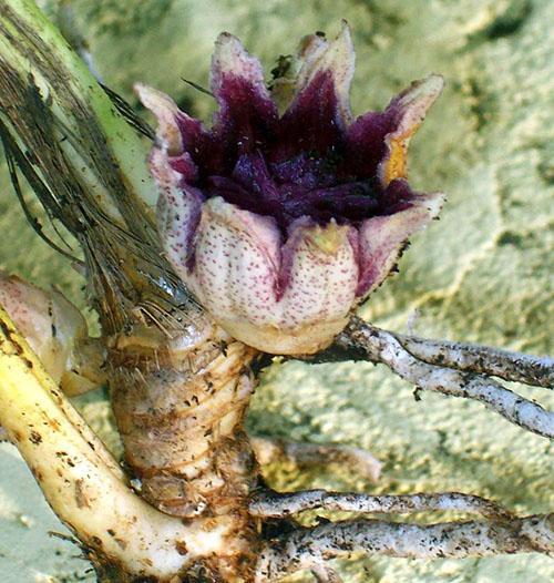 Уникальное цветение аспидистры