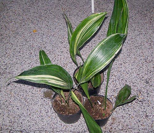 Успешно развиваются отсаженные растения