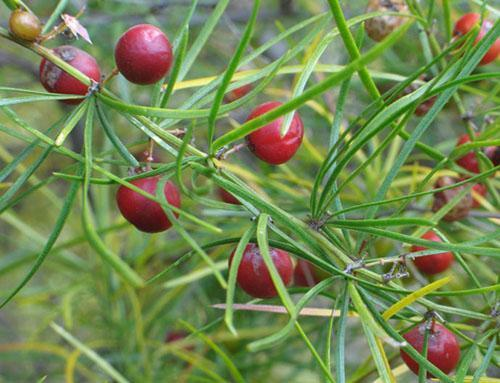 В плодах аспарагуса присутствуют токсичные сапонины