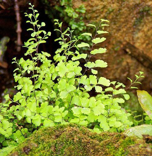 В природе много видов адиантума