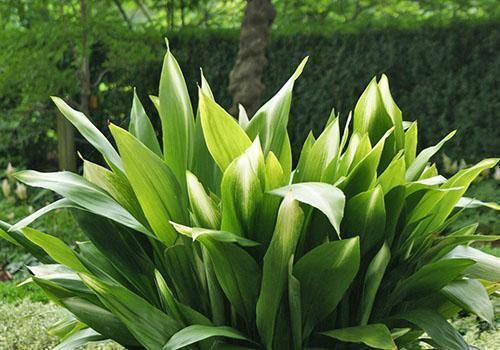 Вечнозелёное растение из лесов Юго-Восточной Азии