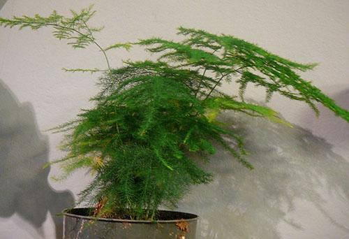 Возобновив правильный полив, сохраним любимое растение