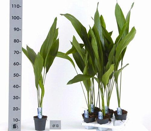Высота комнатного растения может быть больше метра