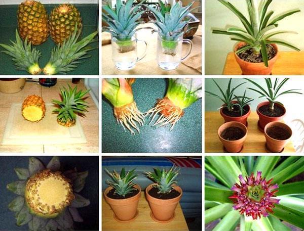 Как в домашних условиях ананас дозрел
