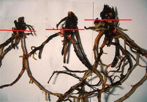 Эти корневые системы антуриума подлежат восстановлению