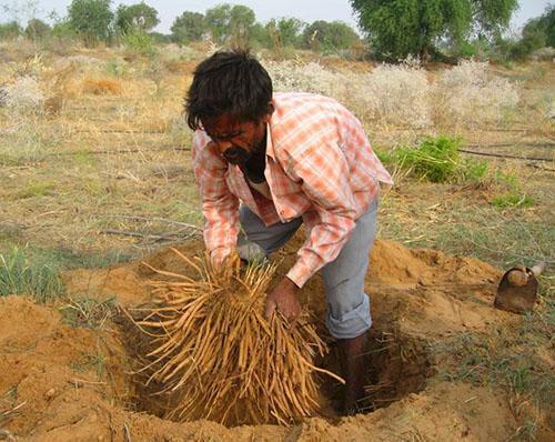 Заготовка корней аспарагуса