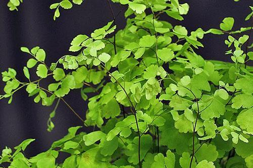 Зелень и корни папоротника снимают симптомы алкогольного и химического отравления