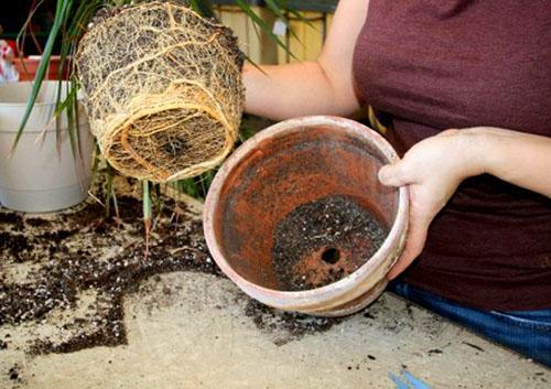 Растение переваливают в более просторный горшок