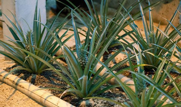 выращивание ананаса из прикорневых отростков
