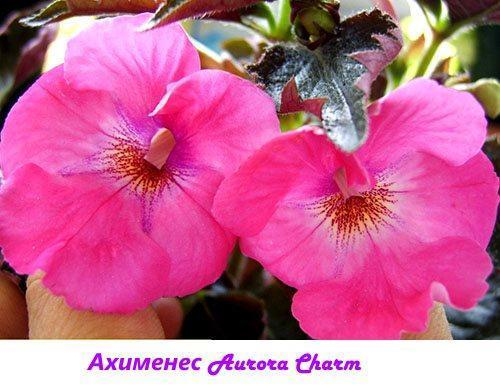Ахименес Aurora Charm